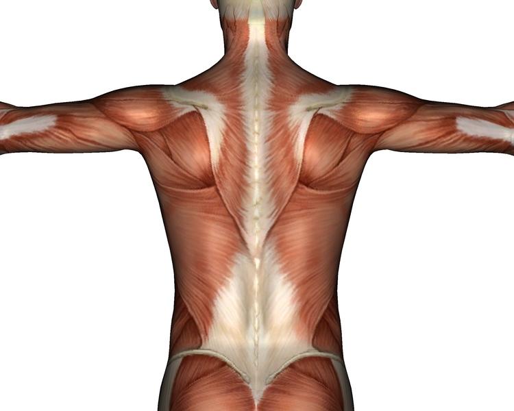 Back_muscles.jpg