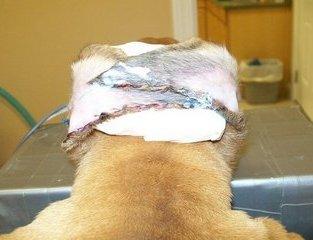 Greer Veterinary   Greer Surgery Photos   NC   <p>Ears by Dr. Bill</p>  
