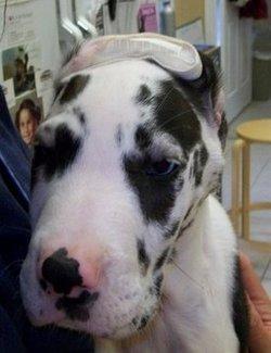 Greer Veterinary | Greer Surgery Photos | NC | <p>Ears by Dr. Bill</p> |